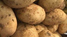 Πατάτες Αχαΐας Νέας Εσοδείας